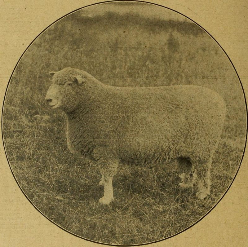A Prize Ram (The Mark Lane Express, Wikimedia)